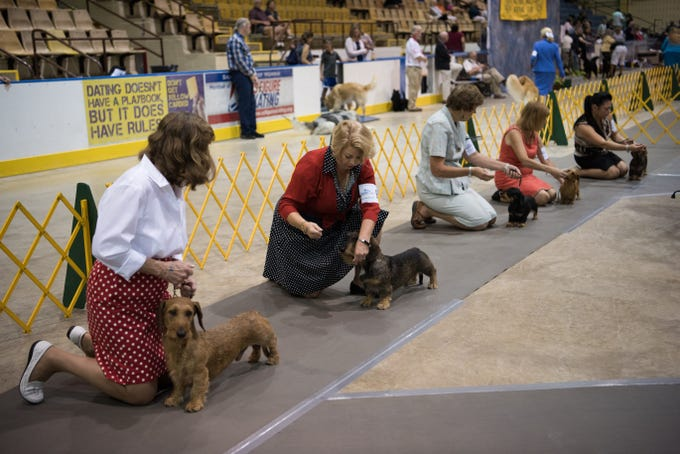 The Wirehaired Dachshunds and their owners line up during judging at the 57th Sussex Hills Kennel Club Dog Show at the Mennen Area in Morristown, NJ, on Sept. 2, 2018.