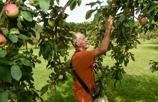 Gary Menke picks apples Monday, Sept. 3, at Hidden Cove Orchard.