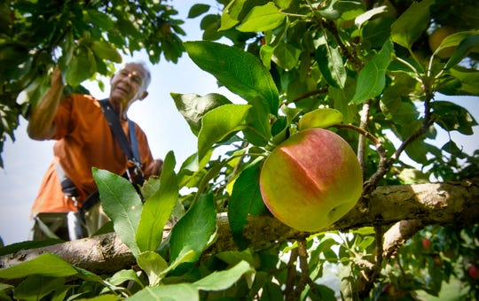 Gary Menke uses a ladder while picking apples high on a tree Monday, Sept. 3, 2018 at Hidden Cove Orchard near Big Fish Lake. Menke picks apples daily at the orchard in the fall to make sure they are each harvested at their peak.
