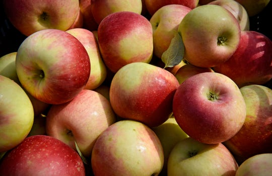 Freshly-picked apples glow in the sunshine Monday, Sept. 3, at Hidden Cove Orchard.