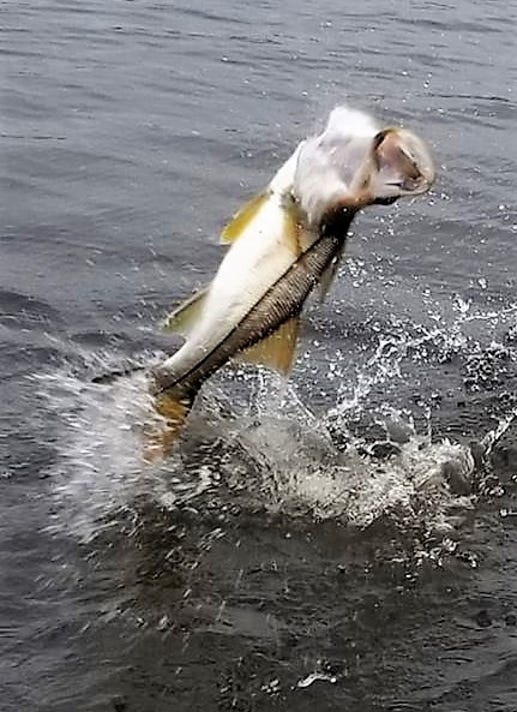 Snook Jumping Jimmy