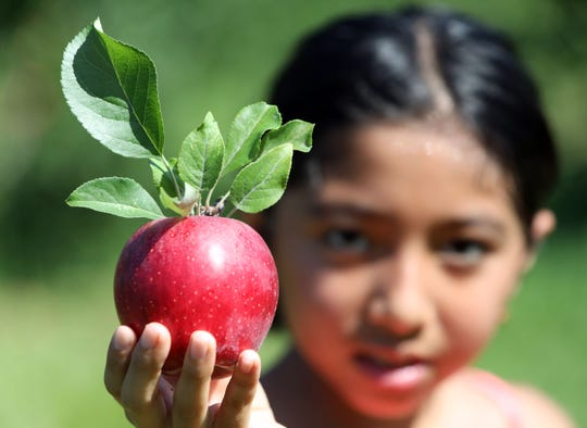 Catharine Collaguazo, 8, of Cortlandt Manor shows one of the apples she picked at Wilkens Fruit & Fir Farm in Yorktown Heights Sept. 3, 2018 during the first weekend of apple picking for the season.