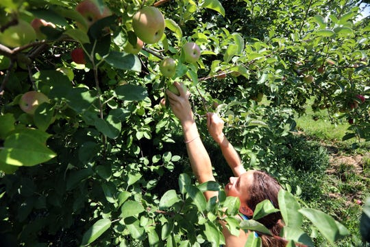 Brenna Rosario, 11, of Putnam Valley reaches for an apple at Wilkens Fruit & Fir Farm in Yorktown Heights Sept. 3, 2018 during the first weekend of apple picking for the season.