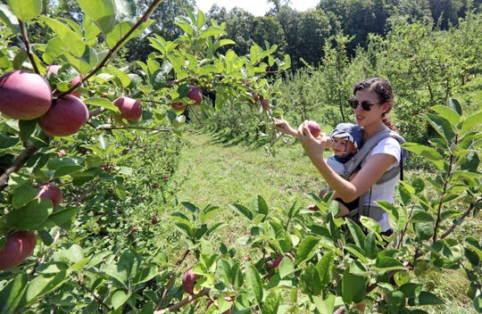 Rachel Levy of Riverdale picks apples with her one-year-old son Noah at Wilkens Fruit & Fir Farm in Yorktown Heights Sept. 3, 2018 during the first weekend of apple picking for the season.
