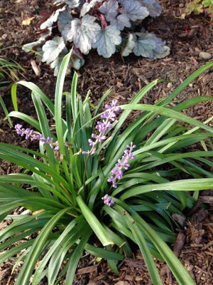 A clump of liriope stands as a clean edge on a new flower bed, along with about 15 other clumps, as a border plant on a curve. Pleasantlavender-colored spikes bloom in Augustand into September.