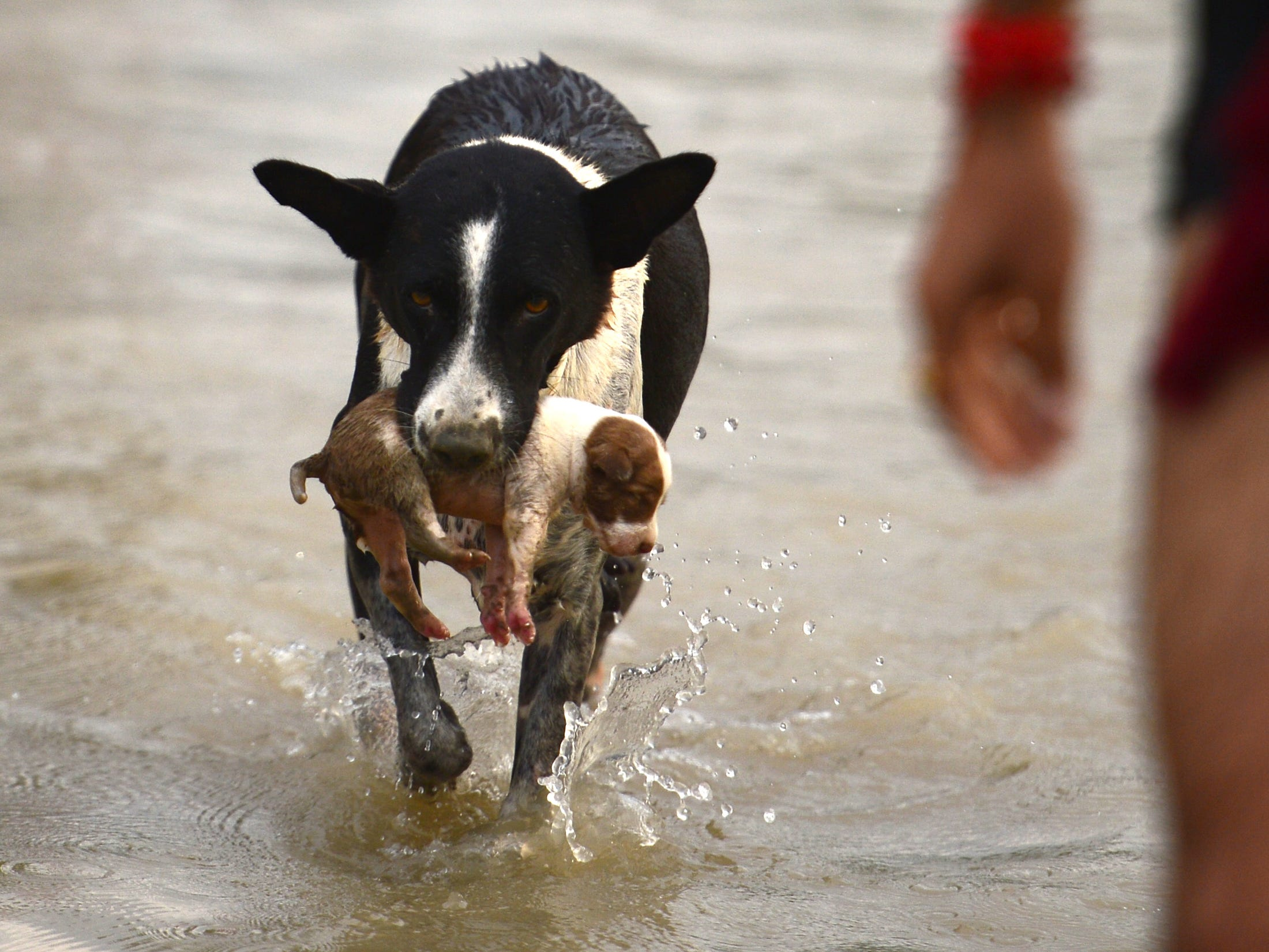 A dog transfers a puppy to a drier place at Sangam area in Allahabad on September 3, 2018, as water levels of the Ganges and Yamuna rivers increase following monsoon rains.