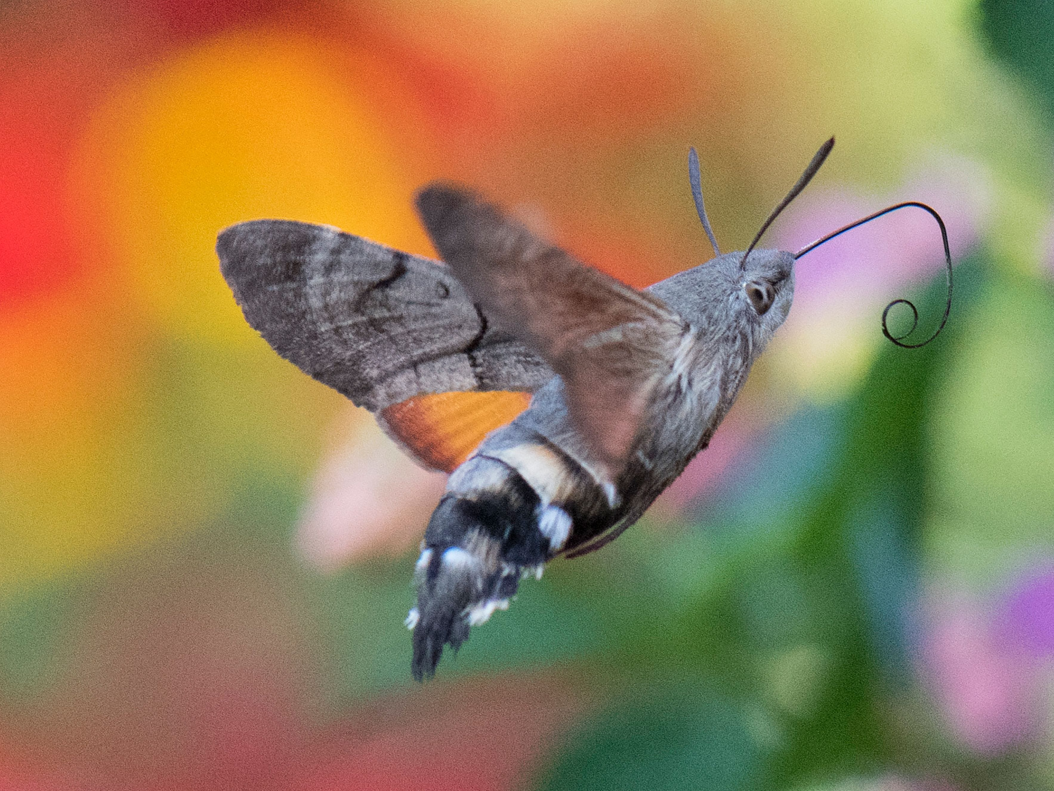A hummingbird hawk-moth stretches its straw for food on September 4, 2018, in Petershagen, western Germany.
