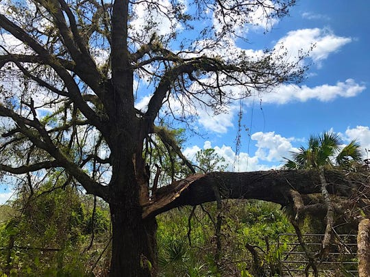 Gate blocked: One of many Irma-felled pasture trees