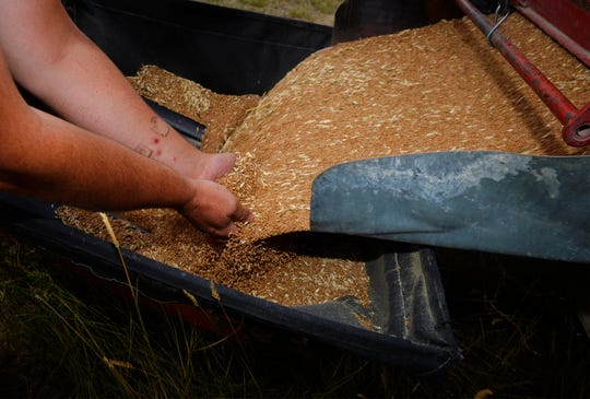 Nate Paulus collects several handfulls of wheat for sampling as it pours from the backend of a truck into an auger for storage bins on their farm near Choteau, recently.