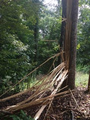 Lightning exploded one side of this 80-foot yellow poplar, scattering long strips of bark and heartwood in a 50-foot arc.