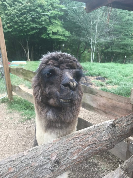 Peanut Butter the alpaca lives with 11 llamas at Smoky Mountain Llama Treks in Cosby.