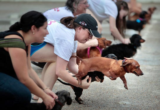 Levi the weenie dog jumps the gun, wriggling away from Amber Hammond as she struggles with her other weenie, Wrangler, during a fun run after the official Running of the Weenies at a previous Germantown Festival.