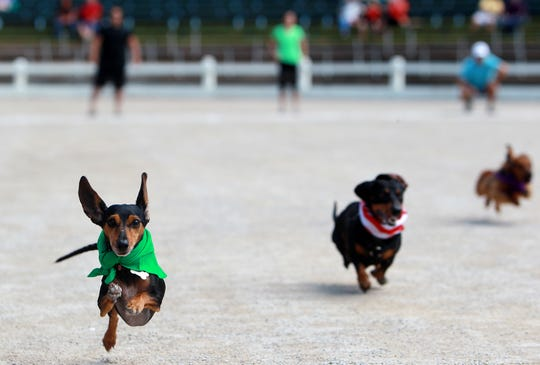 Eleanor Rigby (left), owned by Julie Cuccia, sprints to the finish line past rival Nitro to win the title in the Running of the Weenies during the 44th annual Germantown Festival at Germantown Civic Club Complex.