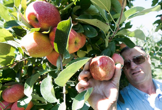 Dwight Mickey of Shatzer's Orchard holds a Red Delicious variety, but it's is no longer America's number one apple. U.S. growers are expected to grow more Galas, as seen on Tuesday, Septemeber 4, 2018.
