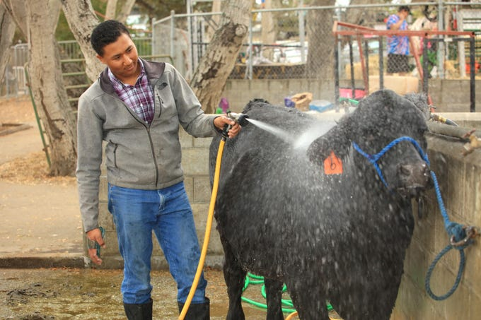 William Acuna of Salinas washes an entry at the 2018 Monterey County Fair.