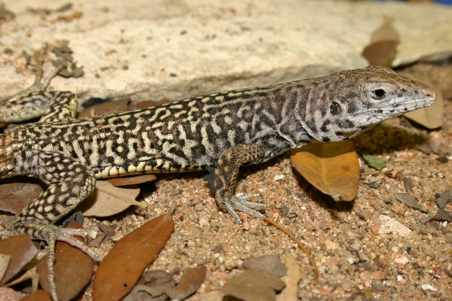 Marbled whiptails are incredibly nervous, quite wary and exceptionally difficult to approach closely in the field.