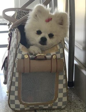 Pandora, a miniature Pomeranian owned by Becky Harris of Stuart, suffered liver failure that possibly caused by biting into a dead fish Aug. 26, 2018, on a blue-green algae-covered beach along the St. Lucie River.