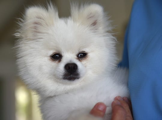 Pandora, a 5-pound miniature Pomeranian, is recovering after being diagnosed with acute liver failure, possibly from contact from the blue-green algae after eating a fish along the algae tainted beach of the St. Lucie River behind her home.