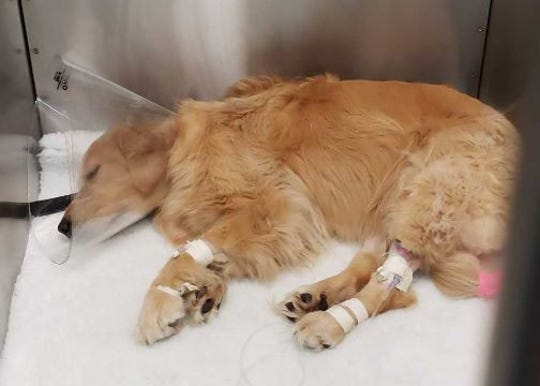 Costa, a 4-year-old golden retriever, is treated Tuesday, Sept. 4, 2018, at Monterey Animal Clinic in Stuart after suffering liver failure thought to be caused by drinking blue-green algae-laden water from the St. Lucie River.