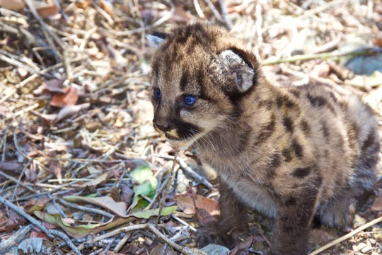 P-56 is suspected to be the father of a litter of mountain lion kittens born a couple of years ago, but the results of genetic testing are needed to confirm it.