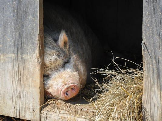A Vietnamese Pot Bellied Pig On A Farm
