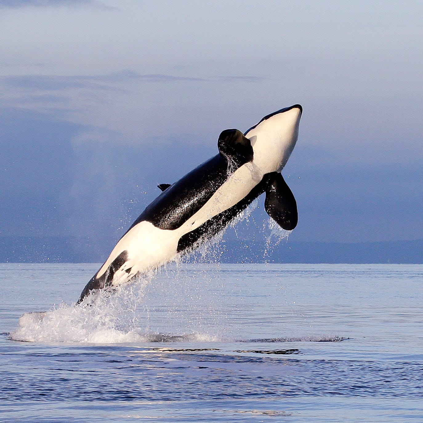 Feds agree to expand habitat protections for Northwest orca