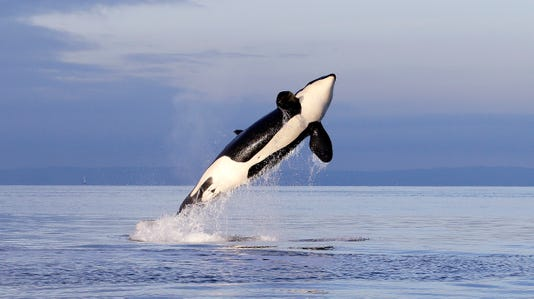 Ap Orca Whales A Fea Usa Wa