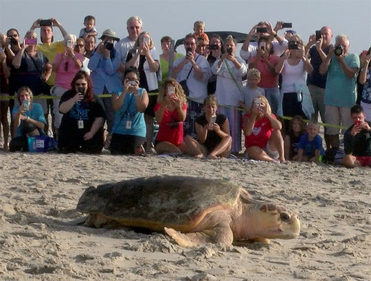 People line the beach to take snapshots of Tammie, an adult Loggerhead turtle, being released back to the ocean by Sea Turtle Recovery in Point Pleasant Beach Wednesday, September 5, 2018.  The turtle was rescued by a US Coast Guard and rehabilitated for injuries received from propeller strikes across her top shell.