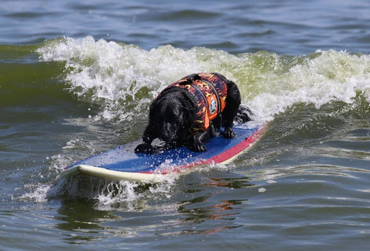 Clean Ocean Action hosts a surfing day for dogs at the beach. They are trying to bring attention to beach and ocean quality while having fun. Onyx, owned by Adam Steinberg of Palm Beach, FL, rides a wave.