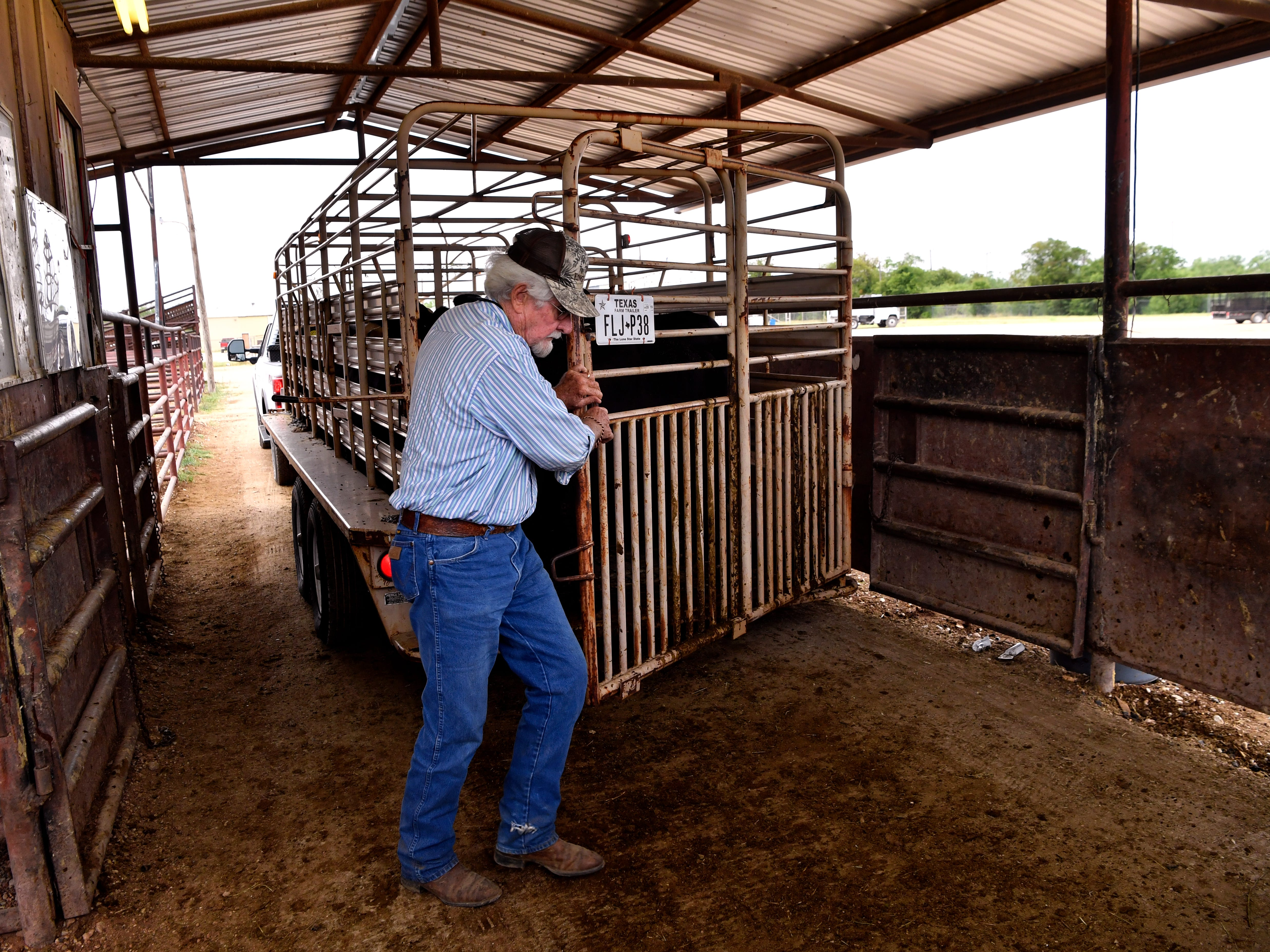 Jerry Key of Throckmorton opens the gate on his trailer to bring out the 18 calves he came to sell at Abilene Livestock Auction Tuesday Sept. 4, 2018. Drought, a lack of forage in pastures, and the high price and scarcity of hay are driving some cattle producers into culling their herds. But many are counting on a wet winter to bring pastures and hay stores back to full strength.