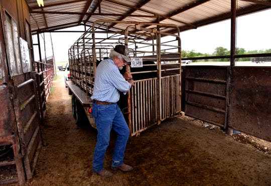 Jerry Key of Throckmorton opens the gate on his trailer to bring out the 18 calves he came to sell at Abilene Livestock Auction Tuesday.