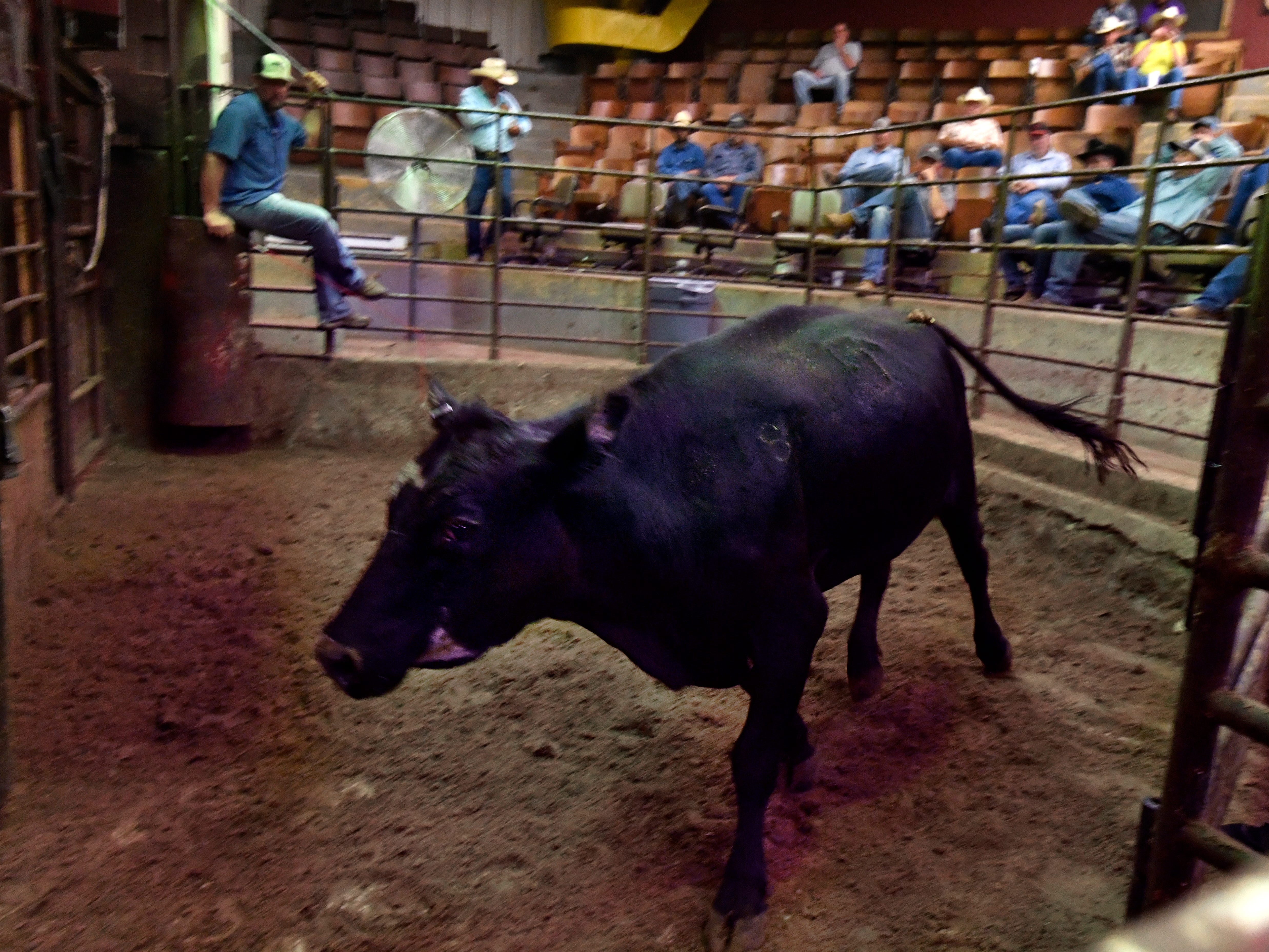 A calf goes back into the pens behind Abilene Livestock Auction Tuesday Sept. 4, 2018 after being sold. Drought, a lack of forage in pastures, and the high price and scarcity of hay are driving some cattle producers into culling their herds. But many are counting on a wet winter to bring pastures and hay stores back to full strength.