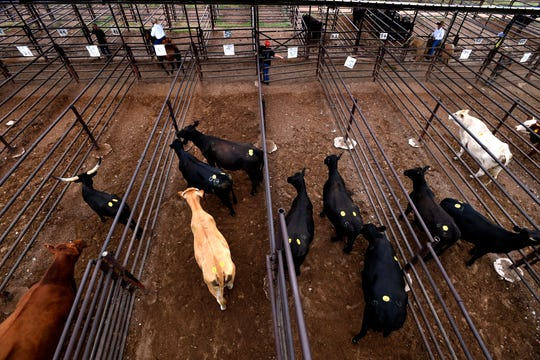 Sold cattle wait for their new owners in the pens behind Abilene Livestock Auction Tuesday.