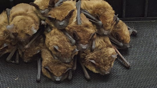 Mike DiSalvo, owner and operator of Iowa Wildlife Removal, said this year has matched last year's high number of bat removal calls.