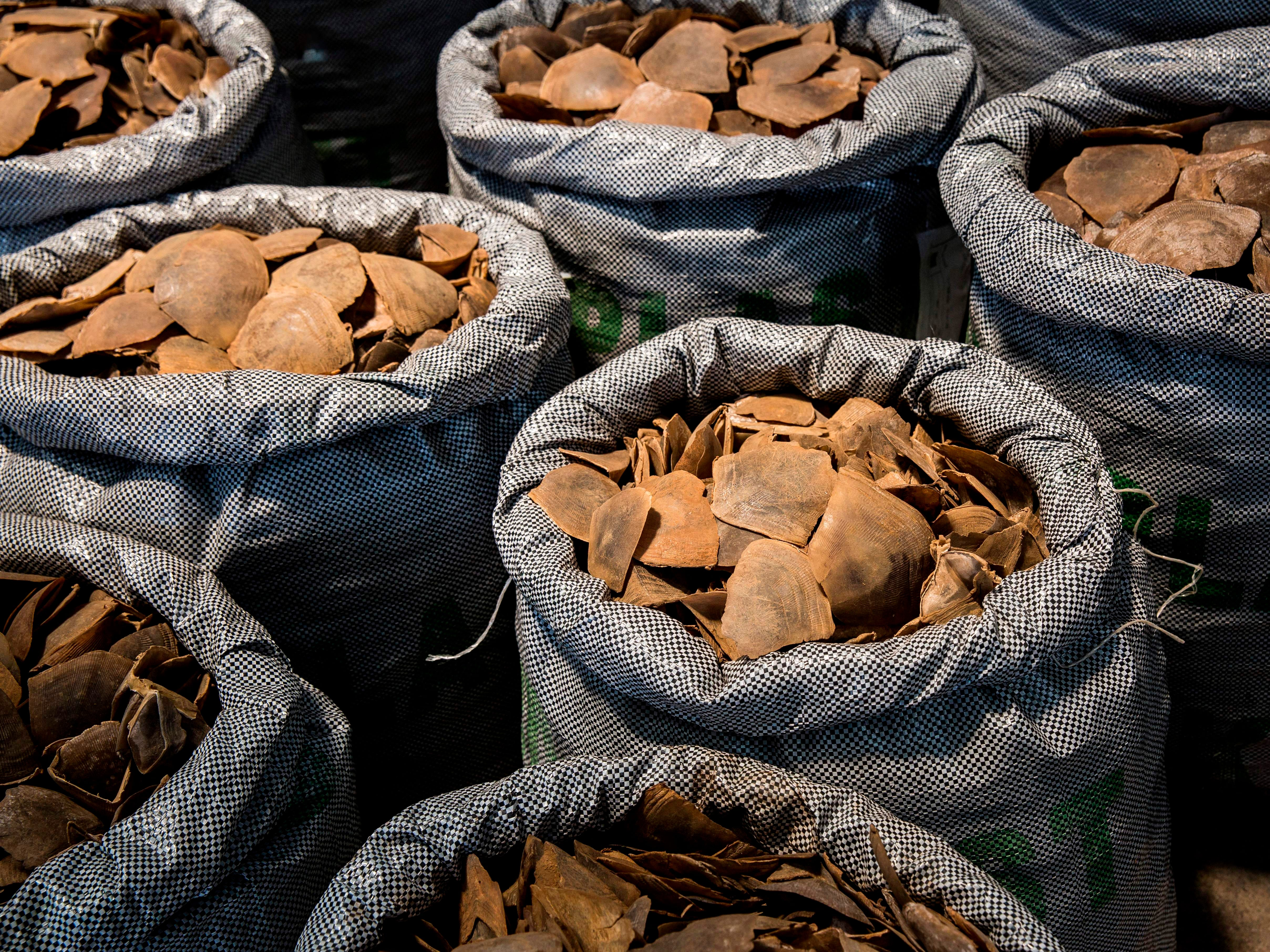Seized endangered pangolin scales are seen during a press conference at the Kwai Chung Customhouse Cargo Examination Compound in Hong Kong on Sept. 5, 2018.  The Hong Kong Customs and the Agriculture, Fisheries and Conservation Department (AFCD) from June to August 2018 mounted Operation Defender against the smuggling of endangered species at the airport, seaport, land boundary and railway control points into the territory. Some 118 cases were reported during the operation period resulting in the seizure valued at 2.4 million USD, with 82 arrests made.