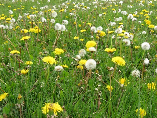 "The common dandelion packs a nutritional punch, says Diana Beck. She'll explain in ""Dandelions and Other Edible Weeds,"" at 6 p.m. Wednesday, Sept. 19, at the Fond du Lac Public Library."
