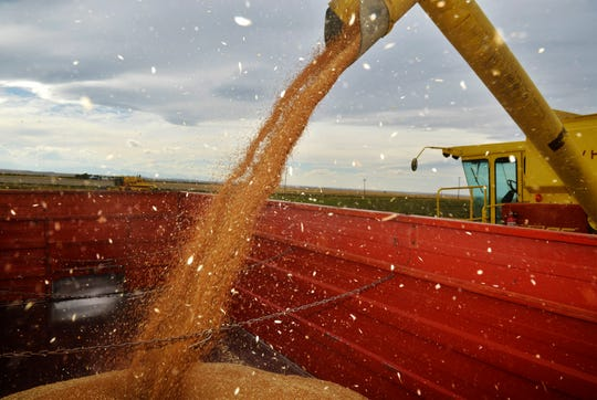 A combine empties its harvest on a farm near Choteau.