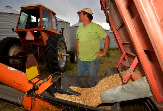 Nate Paulus unloads freshly harvested wheat onto auger headed for grain storage bins near Choteau, recently.
