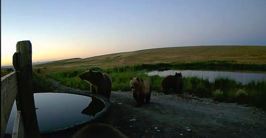 Bears Screenshot