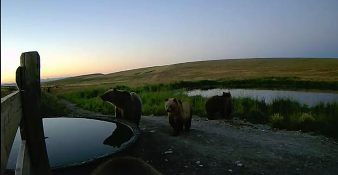 A group of grizzly bears were captured by a nature camera between Choteau and Augusta recently.