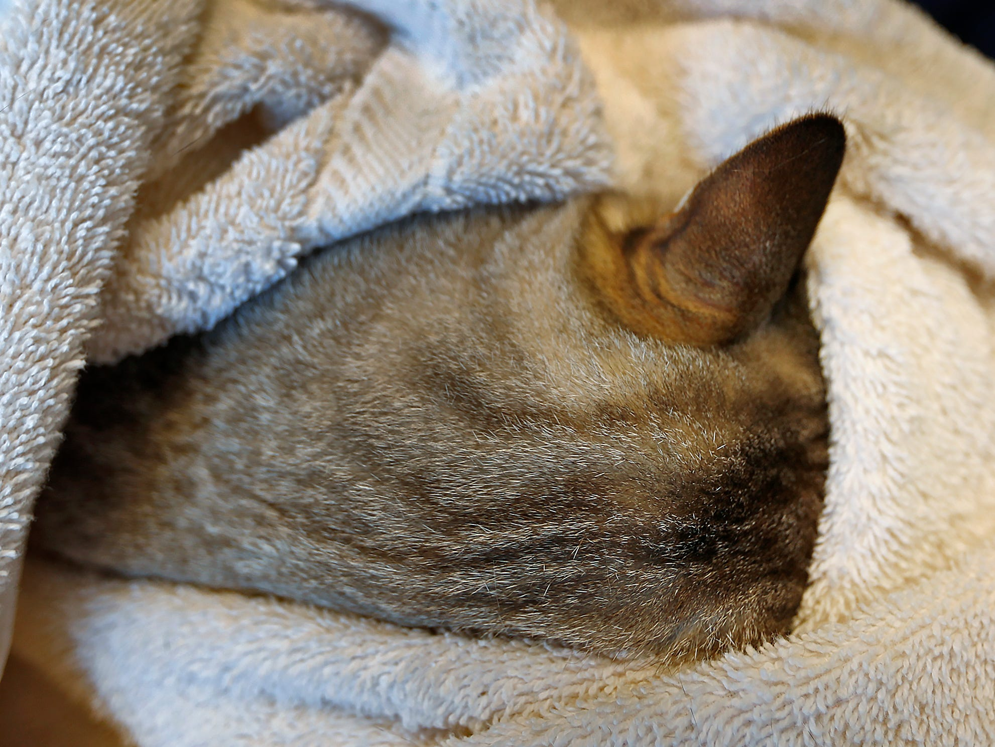 """Paw Patch Place RVT Charlotte Threlkeld's cat, Sage, hides inside a towel, at Paw Patch Place Animal Hospital, Friday, Aug. 31, 2018.  The veterinary clinic is the only one in Indiana to earn special fear free certification from an international program that aims to help vets reduce anxiety for pets prone to feel stressed in their offices.  Sage is wrapped in a """"kitty cat burrito wrap"""" which gives cats comfort and a safe feeling.  Cats can also hide in the towel, if they wants.  And the vet can perform the exam while a cat is in the towel."""