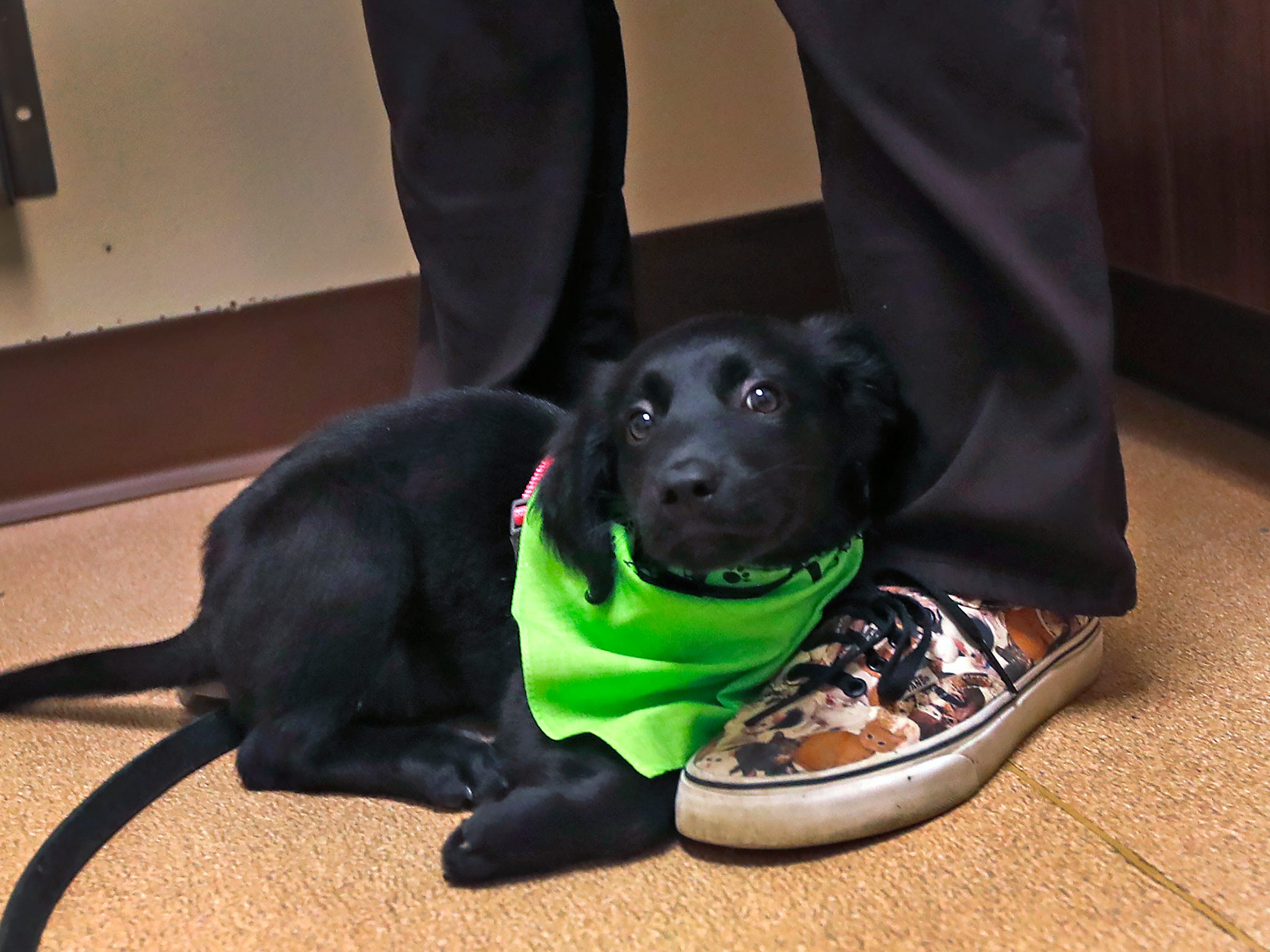 Maggie stops for a second, resting on veterinarian Dr. Penny Dowden's shoes, during her appointment at Paw Patch Place Animal Hospital, Friday, Aug. 31, 2018.  The veterinary clinic is the only one in Indiana to earn special fear free certification from an international program that aims to help vets reduce anxiety for pets prone to feel stressed in their offices.  Sprayed on this puppy's bandana is a dog pheromone used to calm dogs.