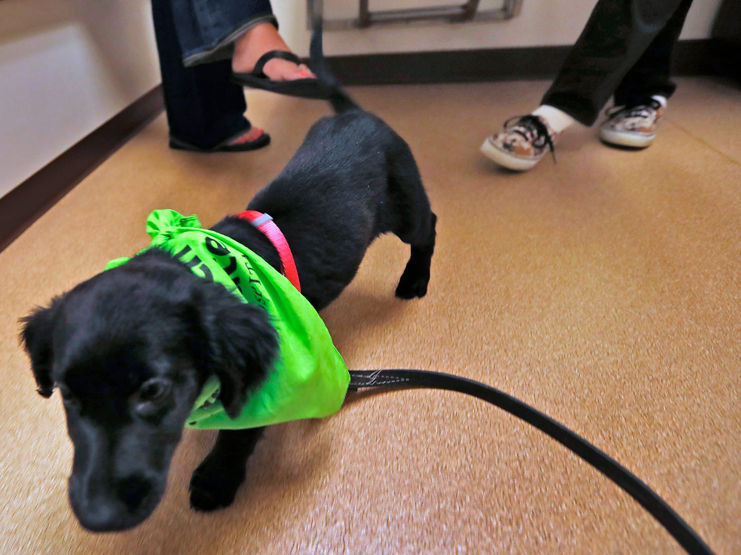 Maggie runs around the room during her appointment at Paw Patch Place Animal Hospital, Friday, Aug. 31, 2018.  The veterinary clinic is the only one in Indiana to earn special fear free certification from an international program that aims to help vets reduce anxiety for pets prone to feel stressed in their offices.  Sprayed on this puppy's bandana is a dog pheromone used to calm dogs.