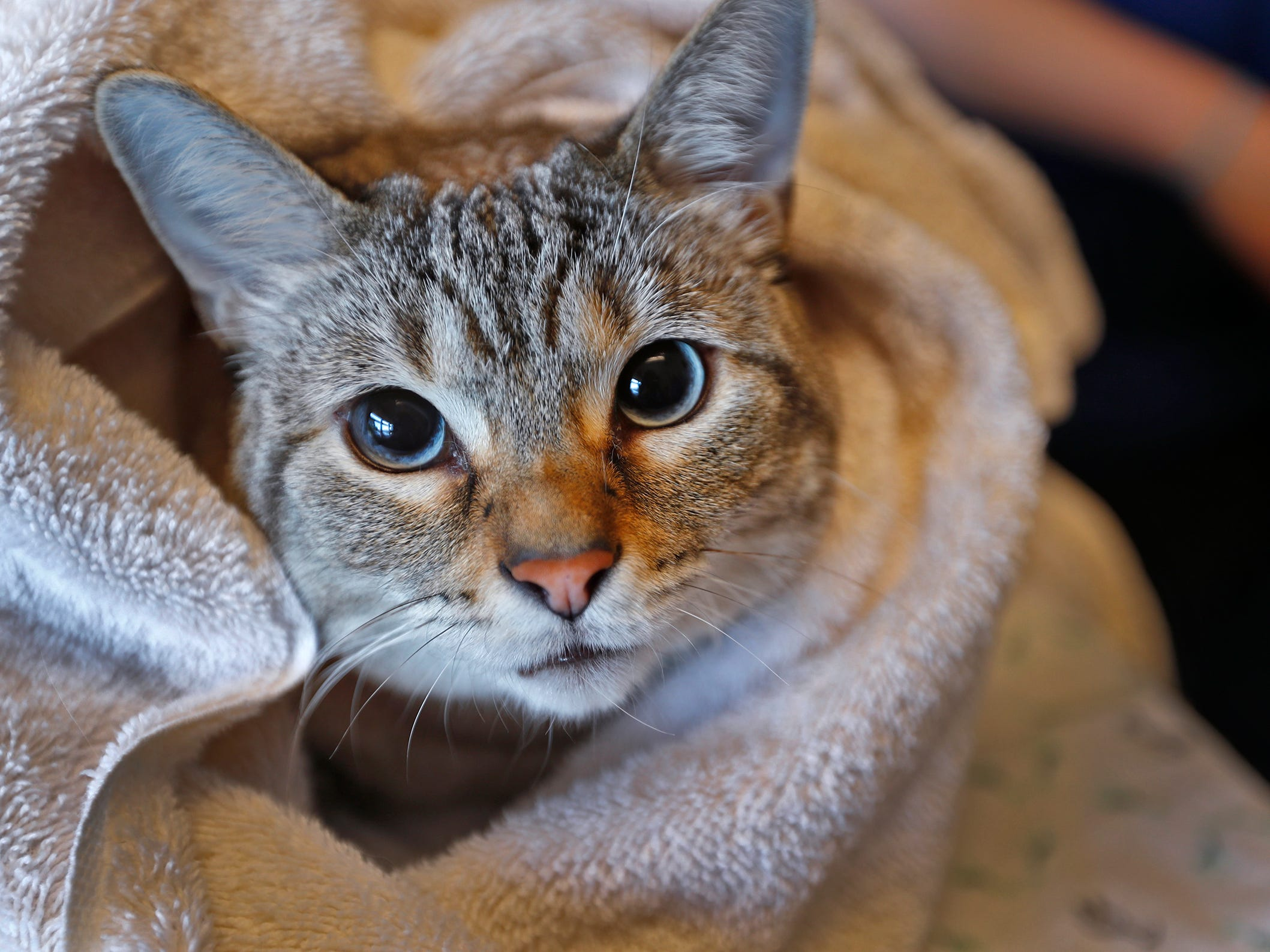 """Paw Patch Place RVT Charlotte Threlkeld's cat, Sage, peeks from inside a towel, at Paw Patch Place Animal Hospital, Friday, Aug. 31, 2018.  The veterinary clinic is the only one in Indiana to earn special fear free certification from an international program that aims to help vets reduce anxiety for pets prone to feel stressed in their offices.  Sage is wrapped in a """"kitty cat burrito wrap"""" which gives cats comfort and a safe feeling.  Cats can also hide in the towel, if they wants.  And the vet can perform the exam while a cat is in the towel."""