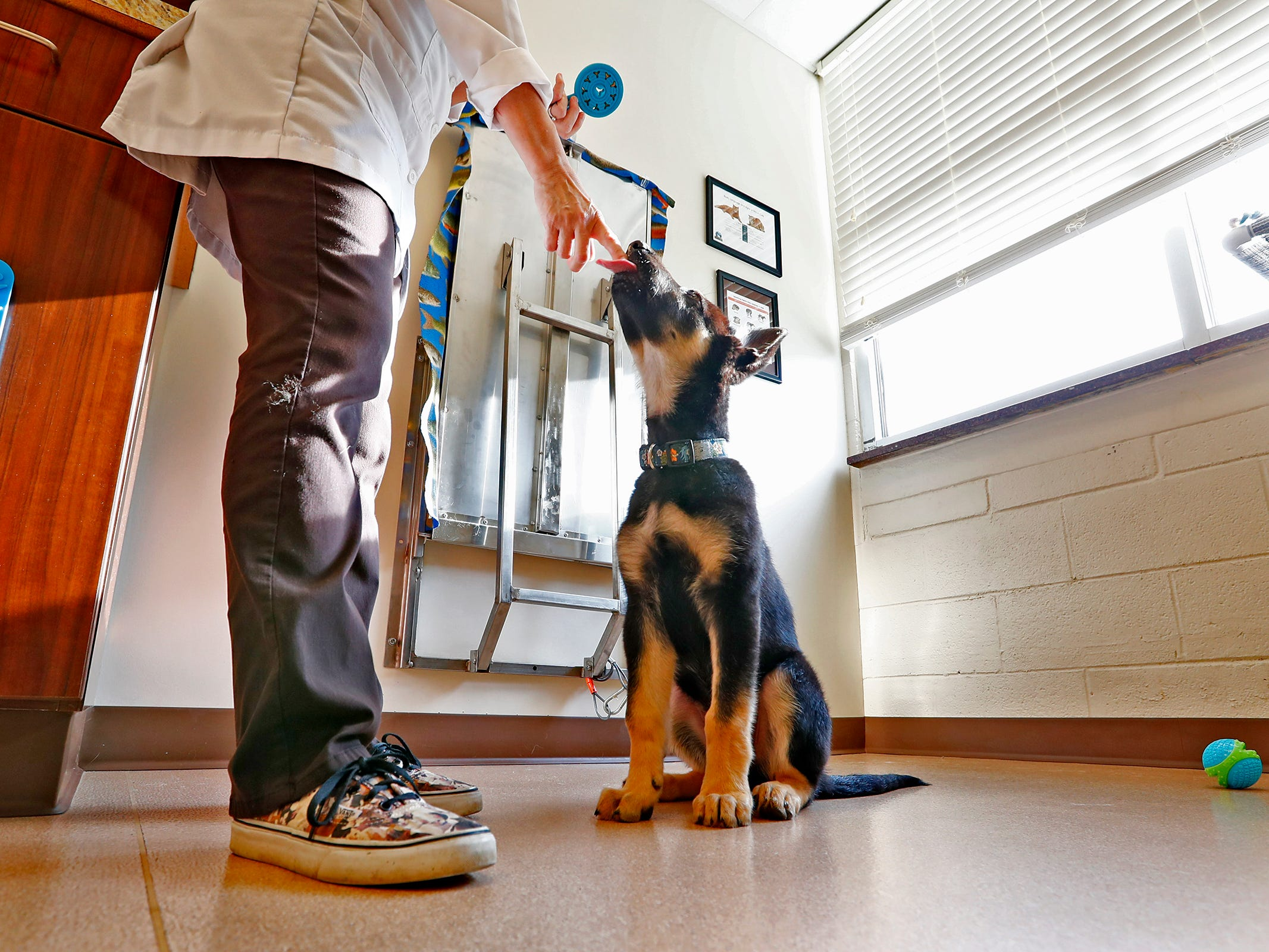 Spartacus sits still as Dr. Penny Dowden gives him a treat during his appointment at Paw Patch Place Animal Hospital, Friday, Aug. 31, 2018.  The veterinary clinic is the only one in Indiana to earn special fear free certification from an international program that aims to help vets reduce anxiety for pets prone to feel stressed in their offices.
