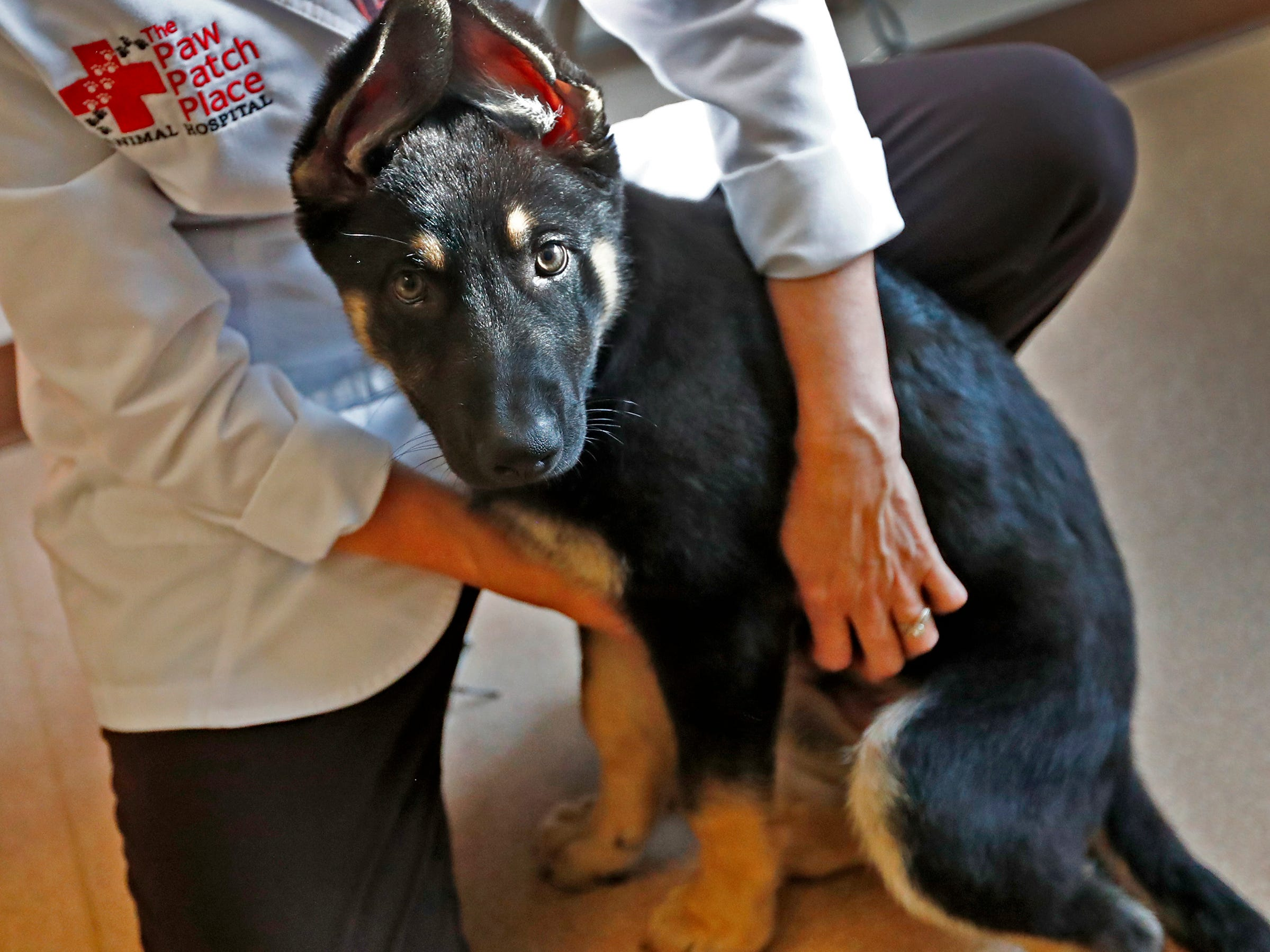 Spartacus sits still with Dr. Penny Dowden during his appointment at Paw Patch Place Animal Hospital, Friday, Aug. 31, 2018.  The veterinary clinic is the only one in Indiana to earn special fear free certification from an international program that aims to help vets reduce anxiety for pets prone to feel stressed in their offices.