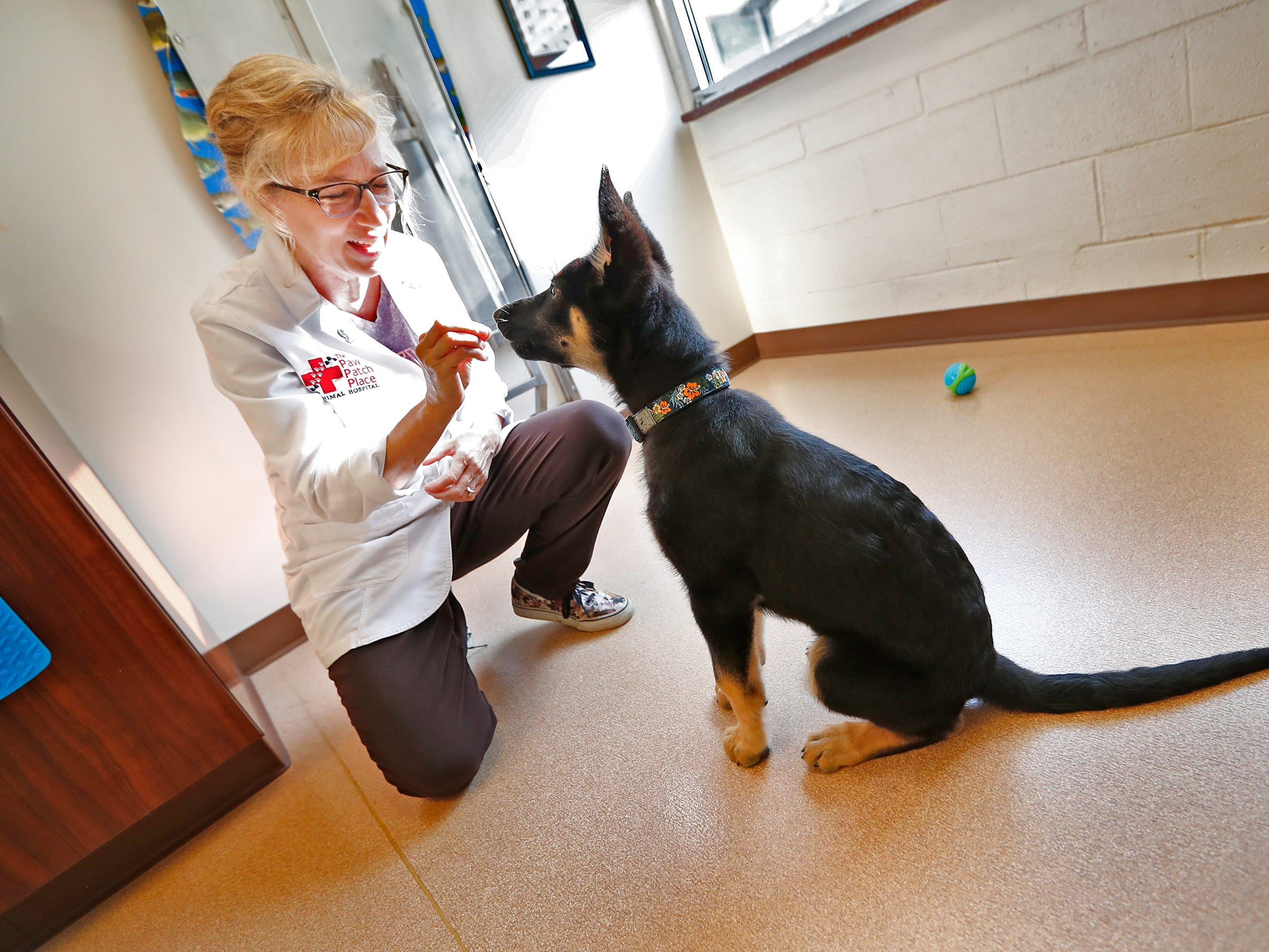 Spartacus sits as Dr. Penny Dowden gives him an oral vaccination during his appointment at Paw Patch Place Animal Hospital, Friday, Aug. 31, 2018.  The veterinary clinic is the only one in Indiana to earn special fear free certification from an international program that aims to help vets reduce anxiety for pets prone to feel stressed in their offices.