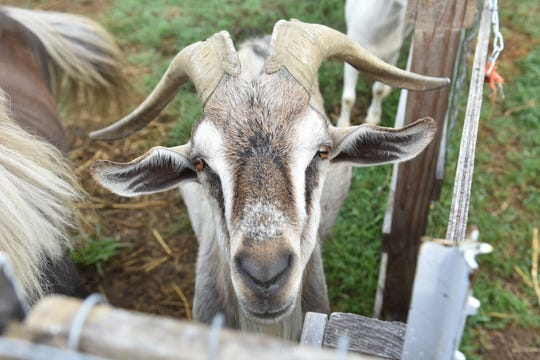 Connor the goat checks out what's going on at Hooves & Feathers.