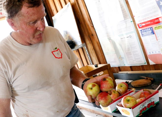 Ralph Hugus holds three bad honeycrisp apples Wednesday, Sept. 5, 2018, at Hugus Fruit Farm near Rushville. Hugus said the high humidity and heat summer caused about 50 percent of his honeycrisp crop to not be marketable. Very little of the rest of the apple varieties at the orchard were effected.