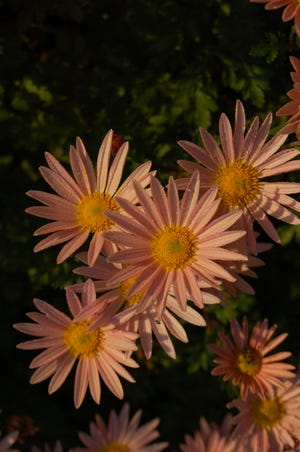 Far superior to the common pot mums, true garden mums like 'Hillside Sheffield Pink' provide excellent fall flower show and come back year after year.